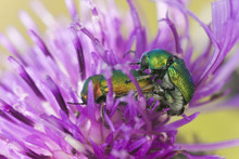 Mating Leaf Beetles, Cryptocepalus, Chrysomelidae On Thistle