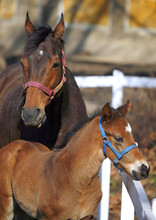 Two Weeks Old Foal With Mare A...