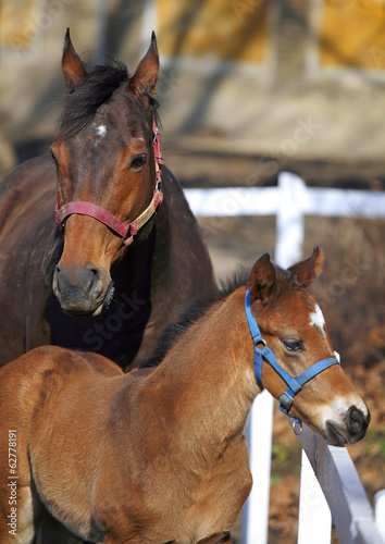 Photo Two weeks old foal with mare at the corral