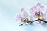 Pink orchid on a blue background
