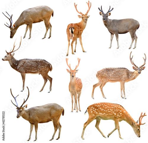Poster Deer deer isolated