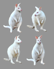 Collection Of Albino Wallaby Isolated