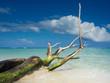 Dead tree on a beach - Vecchio tronco in spiaggia tropicale