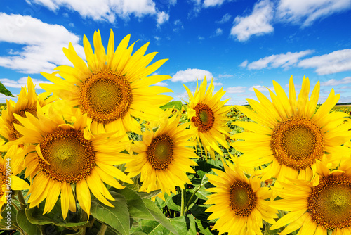 Spoed Foto op Canvas Zonnebloem sunflower field and blue sky with clouds