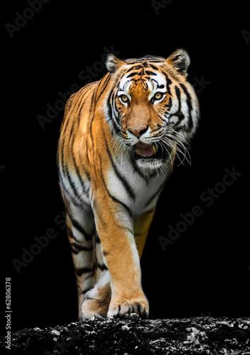 Foto auf AluDibond Tiger Tiger on black background