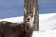 chamois in National Park of Gran Paradiso, Aosta