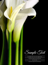 Beautiful White Calla Lilies With Reflection On Black Background
