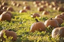 A Field Of Pumpkins Growing.