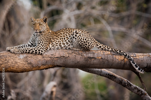 Foto op Canvas Luipaard Leopard, Chobe National Park, Botswana
