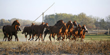 Galloping Herd In The Puszta. ...