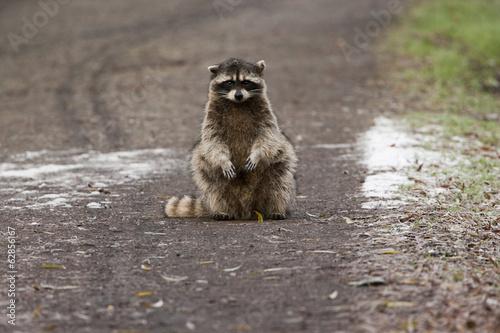 A small raccoon sitting in the road in San Juan Island, Washington