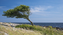 Lonely Bent Tree By The Sea Co...