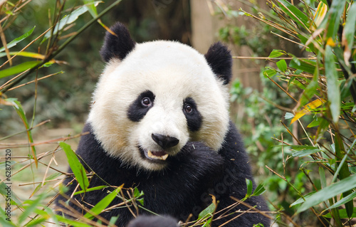 Giant Panda Eating Bamboo, Chengdu, China Fototapeta