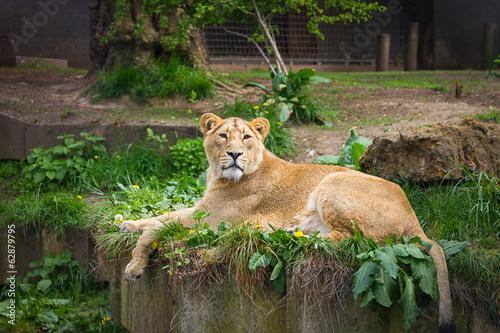 Fotografie, Obraz  Lovely lioness
