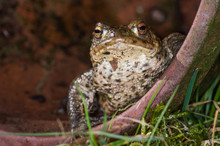 Common Toad (Bufo Bufo) In A P...