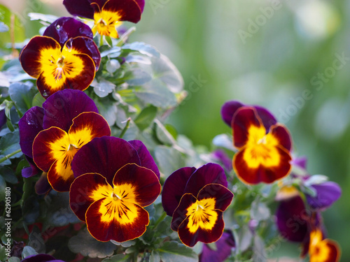 Pansy flowers in two colors