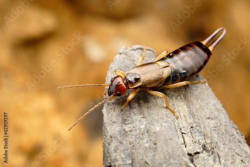 Closeup of tawny earwig in its natural environment Tapéta, Fotótapéta