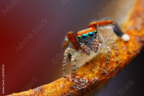 Photo Mediterranean jumping spider with rusty background