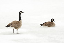 Canada Geese On A Frozen River