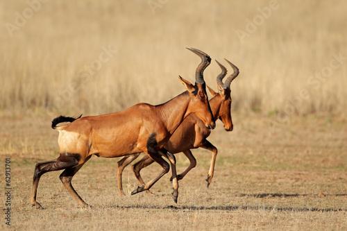 Foto op Plexiglas Leeuw Running red hartebeest, Kalahari desert