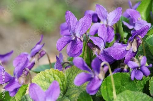 Veilchen - Viola odorata 03