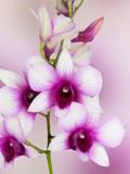 Dendrobium phalaenopsis hybrid orchid