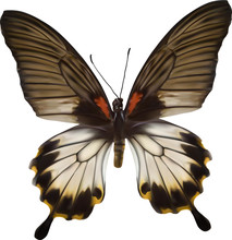 White And Brown Butterfly Illustration