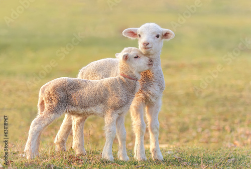Two little lambs at eco farm, from Tulcea, Romania.