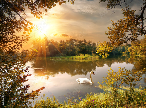 Poster Miel Swan on the pond