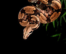 Red Tail Boa Constrictor.