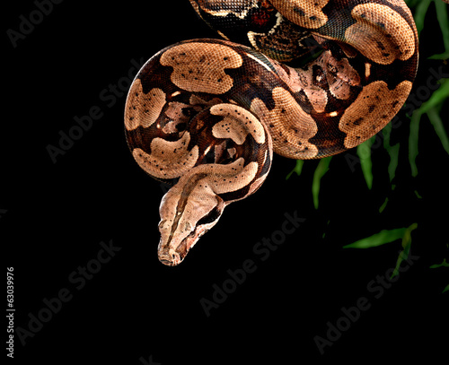 Photo Red Tail Boa Constrictor.