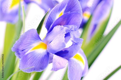 Spoed Foto op Canvas Iris Blue irises isolated on white background