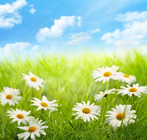 Fototapeta łąka stokrotki-pole-z-niebieskim-niebem