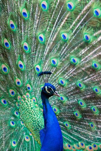 Fotografie, Obraz  Indian Peafowl