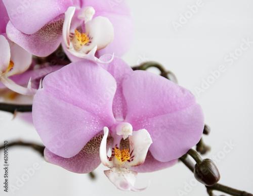 orchidea-2