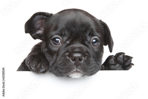 Poster Bouledogue français French bulldog puppy above white banner