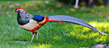 Golden Pheasant Or Chinese Phe...