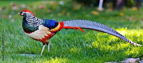 Fotografia Golden Pheasant or Chinese Pheasant