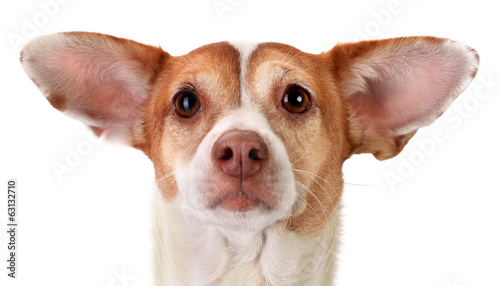 Foto Focused mongrel dog with big ears