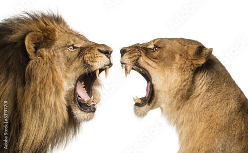 Fotografija Close-up of a Lion and Lioness roaring at each other