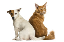 Rear View Of A Maine Coon Kitten And A Jack Russell Sitting