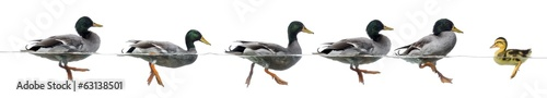 Obraz Duckling stand in the way of a group of ducks - fototapety do salonu