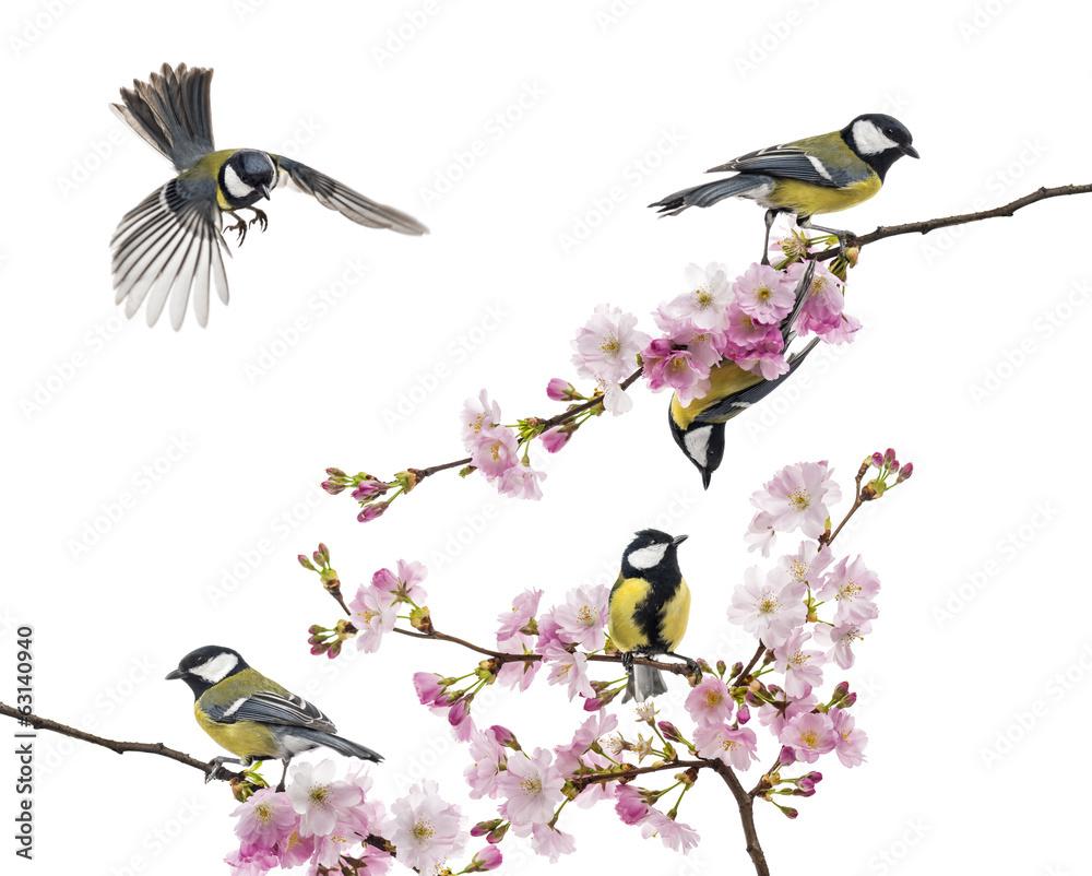 grupa bogatka siedząca na gałęzi kwitnącej, Parus major
