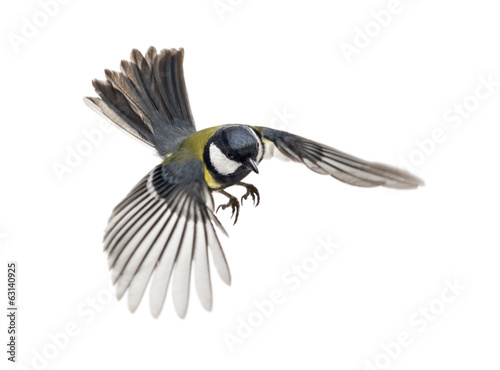 Naklejka premium great tit flying - Parus major