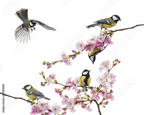 Papiers peints Oiseau group of great tit perched on a flowering branch, Parus major