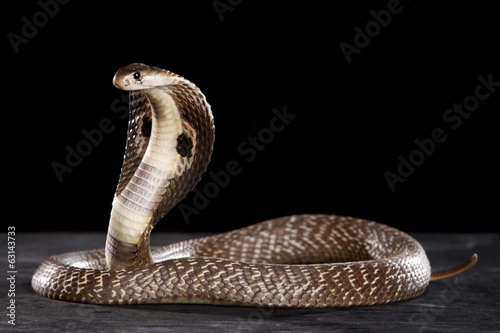 Deadly Cobra on table.. What a beauty