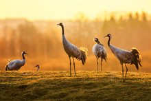 Group Of Crane Birds In The Morning On Wet Grass