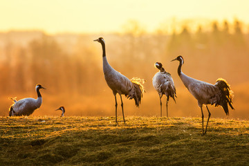 Group of crane birds in the...