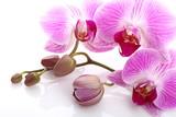 Fototapeta Orchid - Orchidea su sfondo bianco