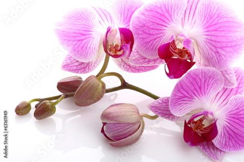 Papiers peints Orchidée Orchidea su sfondo bianco